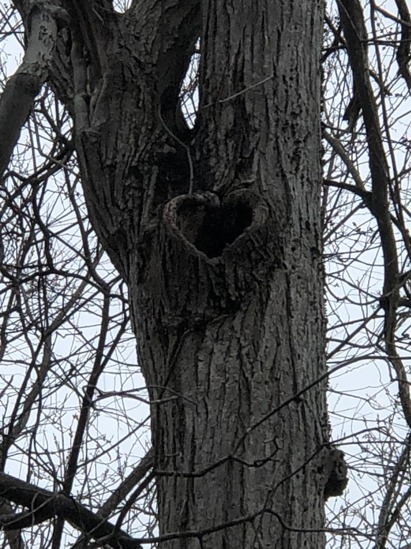 Opening in tree bark is shape of a heart. This photo is from a distance below and shows trunk below and two large branches above the heart shape.